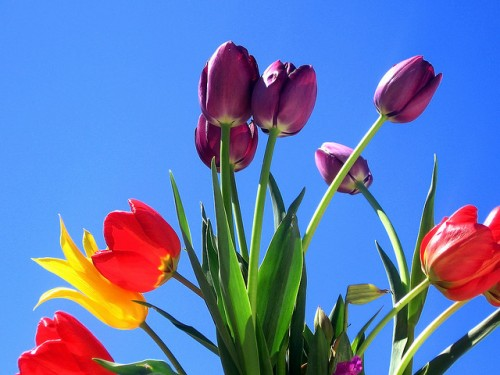 flowers, tulips, sky, red, puple, yellow, blue, green