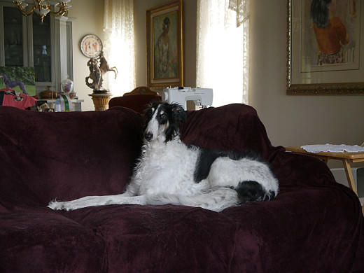 Mimi, borzoi, russian wolf hound, wind hound, black and white dog, dog on couch,