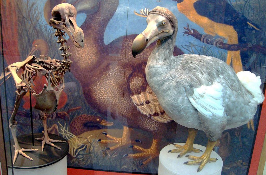 dodo bird skeleton, dodo bird museum display